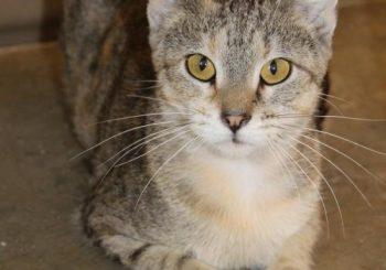 Our current longest feline shelter resident has a reduced adoption fee, thanks to a sponsor!